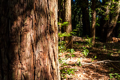 Redwood Forest (David E Henderson) Tags: redwood tree forest nature