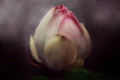 Remembering ... (Christina's World-) Tags: 5star flagged waterlily pond textures flower nature artistic pink painterly plant pinkflowers coth5
