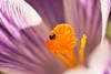 Avant la neige... (Gisou68Fr) Tags: crocus pistil étamines insecte coléoptère jardin garden stamens rayures rayé striped orange mauve violet meligethe méligèthe canoneos650d macro fleur flower bug
