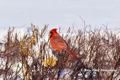 IMG_3874 (nitinpatel2) Tags: bird winter snow nature nitinpatel