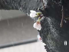 Cherry blossoms in the rain (nofrills) Tags: flora floral plant plants flower flowers blossom blossoms cherry cherryblossom cherryblossoms season spring 桜 ソメイヨシノ urbantree japan weather rain raindrop raindrops waterdrop waterdrops water