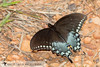 Spicebush Swallowtail - Hodges#4181 (Papilio troilus) 20180312_3422.jpg (Abbott Nature Photography) Tags: neoptera papilionidaeswallowtailbutterflies lepidopterabutterfliesmoths butterfly endopterygota pterygota organismseukaryotes animals hexapoda arthropodaarthropods invertebratainvertebrates insectainsects papilionoidea andalusia alabama unitedstates us