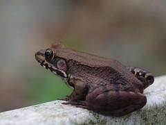 American Bullfrog (bamboosage) Tags: vivitar series 1 90 25 macro