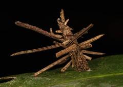 """Impaled By Swords Illusion"" Bagworm Moth Caterpillar (Psychidae) (John Horstman (itchydogimages, SINOBUG)) Tags: insect macro china yunnan itchydogimages sinobug entomology canon black moth lepidoptera bagworm psychidae caterpillar larva topf25 tweet fb top tumblr"