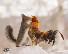 red squirrel is holding an rooster in snow (Geert Weggen) Tags: humor animal cute snow backlit bright closeup food horizontal mammal nature passion photography red rodent squirrel sun sweden travel vacations winter egg love balance easter knife table cock rooster bispgården jämtland geert weggen hardeko ragunda