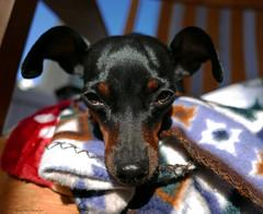 Lucy (Lynnemvt) Tags: dog dogportrait pet minpin miniaturepinscher panasonic lumix dmc lx100
