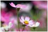秋英    Cosmos (Alice 2018) Tags: 2018 cosmos flower spring pink nature canon eos7d canoneos7d canonef70200mmf4lisusm bokeh aatvl01 best aatvl02 autofocus
