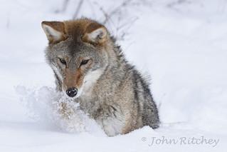 Montana Coyote