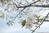 (takafumionodera) Tags: cherryblossomes japan minatomirai pentax q7 yokohama みなとみらい 桜 横浜