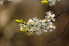 Blossom (microwyred) Tags: cherryblossom spring landscape events season nature flower leaf walking beautyinnature cherry outdoors april tree plant closeup macro ombersley blossom white flowerhead freshness landscapes forestwoods petal holtfleet springtime branch