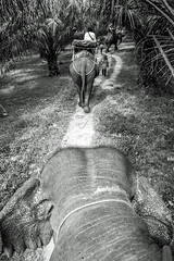 On the back of the Elephant. Win Elephant Tour, Khao Sok, Thailand. 2018/02/28. (joelgambrelle) Tags: nikon monochrome blackandwhite elephant khaosok thaïlande thailand
