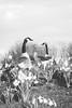 Spring has sprung.  💚  #birds #flowers #art #flowersofinstagram #nakedplanet #goose #earthofficial #Flickrdaily #wildlifeplanet #light #bnw #blackandwhite #wildlife #reflection #Flickr_nature (jophipps1) Tags: janetjackson noiretblanc geese london beauty goose deephouse birds flickrdaily flowersofinstagram blackandwhite if wildlife flowers art amateursbnw kaytranada reflection wildlifeplanet tree bnw edm flickrnature naturelover light nakedplanet earthofficial bnwofourworld landscape
