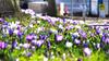 Springtime in the city (guenther_haas) Tags: spring springtime frühling ostern krokusse krokus neuulm blüten bunt farben olympus omd em5 gras crocus crocuses march märz easter karfreitag goodfriday