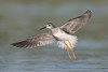 Lesser Yellowlegs (PeterBrannon) Tags: bird flight florida lesseryellowlegs nature shorebird tringaflavipes water wildlife wings