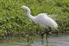 Ruffles (danielusescanon) Tags: marsh greategret ardeaalba blackwaternationalwildliferefuge maryland wild aquaticbird bird animal pelecaniformes ardeidae