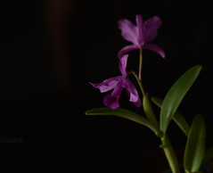Negative Space (Dreaming of the Sea) Tags: crazytuesdaytheme 7dwf flowers blackbackground blackattheback orchid greenleaves negativespace nikond7200 tamronsp2470mmf28divcusd