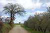 ulivi (phacelias) Tags: ulivo ulivi trees strada stradabianca zandweg olivetrees cielo lucht campagna landscape landschap paesaggio countryside