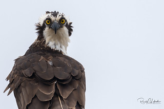 Osprey of the Jersey Shore | 2018 - 11