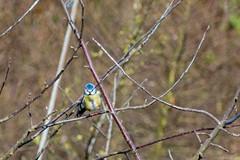 Blue Tit (jamesallen9) Tags: branch bird wildlife wild animal yellow nature feather beautiful small tiny tit beak birdwatching tree