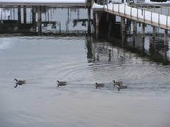 A small flotilla (jamica1) Tags: birds waterfowl geese lake okanagan kelowna bc british columbia canada