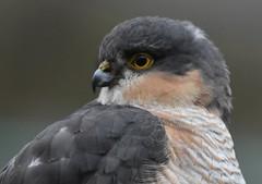 Sparrowhawk. (jimbrownrosyth) Tags: sparrowhawk