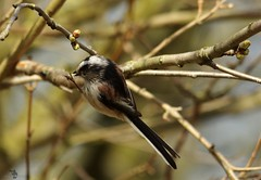 long tail tit (6) (Simon Dell Photography) Tags: shirebrook valley sheffield nature wildlife birds animals spring views sights reserve s12 simon dell photography photos