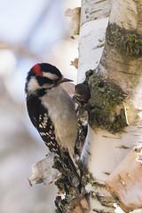 DUW_7920r (crobart) Tags: downy woodpecker bird birds feeder