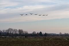 Rieselfelder - 20161221 - 008 (Uwe`s Fotos) Tags: flugphase formation himmel kanadagans natur ortestädteplätze rieselfelder rieselfelder20161221 storch tiere transfer vögel wiese wolken überflug flickrexport
