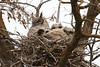 Great Horned Owls,   Bubo virginianus (jlcummins - Washington State) Tags: greathornedowl owlets owl bird toppenish washingtonstate yakimacounty canon tamronsp150600mmf563divcusd wildlife nature fauna nest