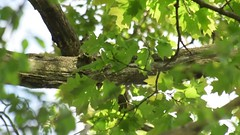 May 2017 (turn off your computer and go outside) Tags: 2017 baeolophusbicolor birdsofminnesotaandwisconsinpage237 carverroehlpark may rockcountyparksystem tuftedtitmouse wi wisconsin bird birdcall birdsong clearday critter identified nature outdoors spring springtime uncertainidentification