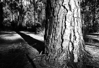 Pinwydd arfor / Les pins maritimes
