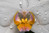 Water drops on a white background (Fotos4RR) Tags: orchid orchidee phalaenopsis waterdrops wassertropfen wasser water flower blume malaienblume mothorchid plant pflanze weis white whiteflower weiseblume