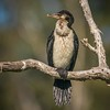 Immature Little Pied Cormorant (gecko47) Tags: wetlands lagoon cormorant littlepiedcormorant immature phalacrocoraxmelanoleucos wynnum lytton brisbane sandycamprdwetlands