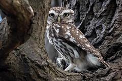 LittleOwl-0008.jpg (vorneo) Tags: wildbird kingdomanimalia birdofprey owl binomialnameathenenoctua littleowl bird speciesanoctua phylumchordata familystrigidae orderstrigiformes classaves genusathene