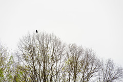 I may as well leave (auqanaj) Tags: blackbird rabe krähe baum bäume raven crow tree trees white green frühling spring springtime nature natur