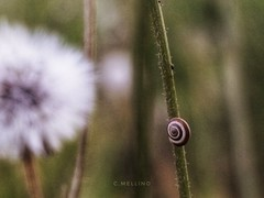 Caracol (clausterrible) Tags: caracol lumaca sardinia natura nature sonya5100 sony alpha5100 snail escargot