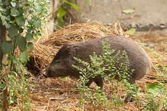 Pygmy Hog - Porcula salvania (Roger Wasley) Tags: pygmy hog porculasalvania animal mammal india asia rare endangered manas tiger reserve nationalpark