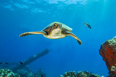turtle4Mar28-18 (divindk) Tags: cheloniamydas hawaii hawaiianislands honu malaramp maui underwater diverdoug endangeredspecies greenseaturtle marine ocean reef sea seaturtle turtle underwaterphotography