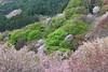 Sakura storm (Septimus Low) Tags: canon 60d 70300is travel nara japan kansai sakura cherry blossom yoshino
