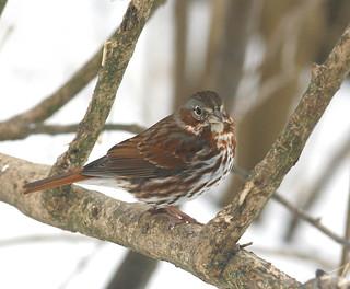 Fox-Sparrow-36w