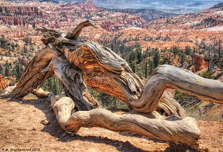 Gnarled Bristlecone Pine Trunk, Queens Garden Trail, Bryce Canyon