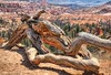 Gnarled Bristlecone Pine Trunk, Queens Garden Trail, Bryce Canyon (PhotosToArtByMike) Tags: queensgardentrail bristleconepine gnarled brycecanyonnationalpark hoodoos rockspires trail brycecanyon canyon utah ut canyonfloor bryce limestone erosion scenic landscape southwesternutah