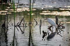 Marsh Denizen (Selkii's Photos) Tags: birds california casmerodiusalbus davis egret greategret yolobypasswildlifearea