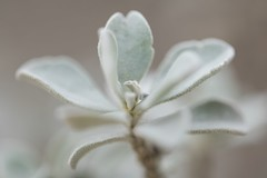 Small plant macro (billcoo) Tags: xf80mm garden fujifilm bokeh fujinon dof smooth