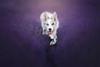 Lavender Memory with Cirilla (Alicja Zmysłowska) Tags: lavender summer dog dogs border collie ciri slate merle photographer photography flowers violet sunset