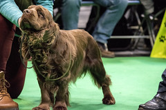GAZ_1275 (garethdelhoy) Tags: dog sussex spaniel crufts 2018 kennel club