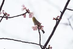 _3188170.jpg (plasticskin2001) Tags: mejiro sakura bird flower