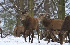 IMG_9614 (Sula Riedlinger) Tags: deer reddeer reddeercervuselaphus cervuselaphus redstag reddeerstag stag antlers greaterlondonwildlife greaterlondon greaterlondonparkswildlife londonwildlife londonroyalparks londonparkswildlife mammal nature nationalnaturereserve richmondpark royalparks royalpark surrey surreywildlife urbanwildlife urbannature ukwildlife uknature ukmammal