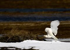 Snowy Owl Coming in for a Landing (Katherine Chawner Davis) Tags: snowyowl owl raptor bird landing snow nature wildlife