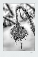 natura morta 06 (siggi.martin) Tags: winter cold kalt kälte coldness raureif whitefrost verblüht withered sonnenblume sunflower schwarzweis blackandwhite